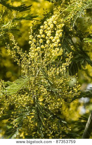 Acacia Dealbata Flowers And Leaves
