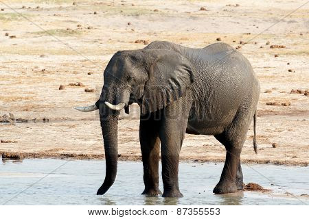 African Elephants Drinking At A Muddy Waterhole