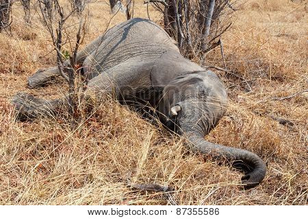 Small Dead Elephant In National Park Hwankee, Botswana