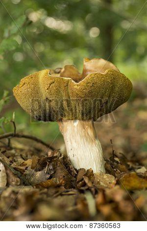 Boletis Edulis mushroom