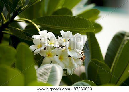 Frangipani, Plumeria, Temple Tree