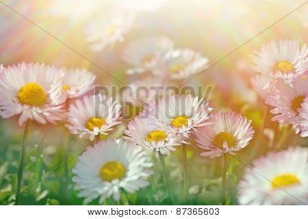 Daisy flowers - closeup (spring daisy)