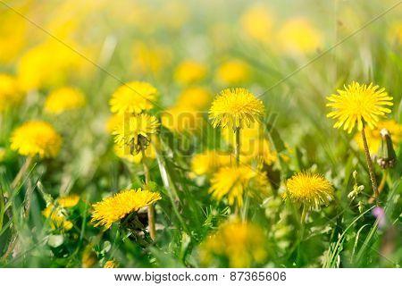 Spring flower - dandelion flowers