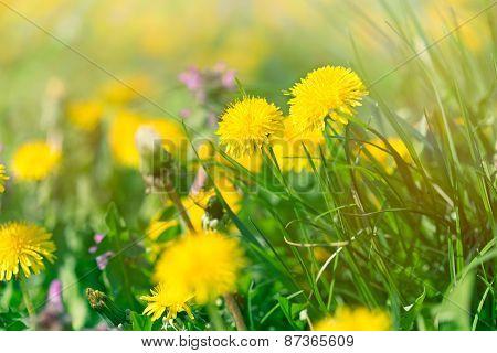 Yellow flowers in spring - dandelion flowers