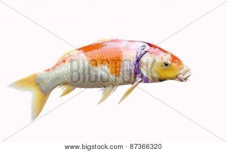 Japan Carp Fish