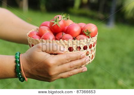 Framer Holding Fresh Organic Tomatoes In Handcraft Basket.