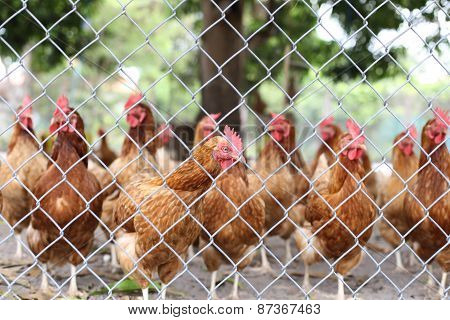 Chickens Walking Around In A Farm