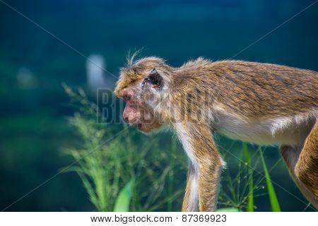 Monkey In Sigiriya, Sri Lanka, Close Up