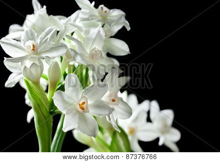 Bouquet Of White Paperwhite Narcissus Flowers