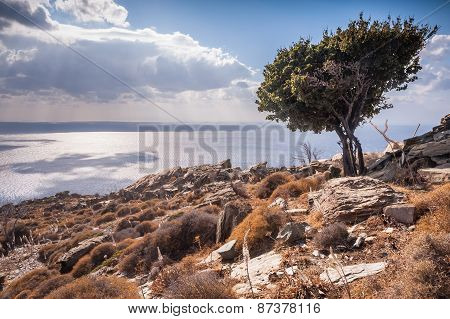 Olive Tree On The Hill
