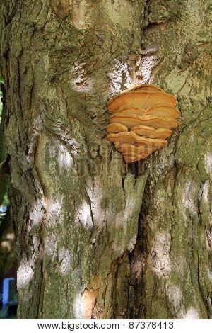 Detail of large mushroom on tree bark