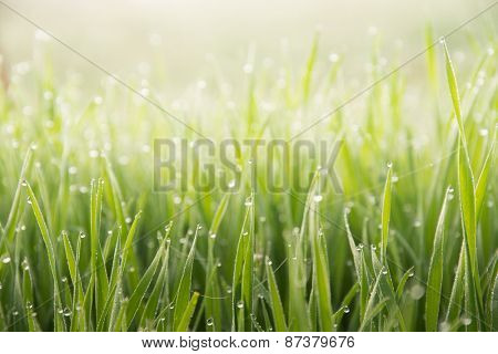 Grass with water drops after a heavy fog in early morning