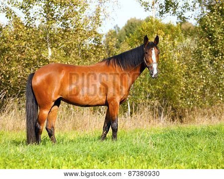 Bright Bay Horse Grazes On The Field
