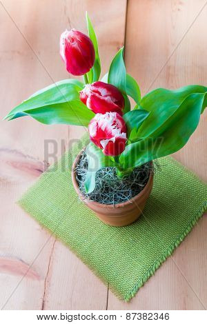 Bicolor Red White  Tulips In A Clay  Pot.