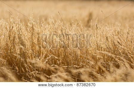 Golden summer grass gackground.