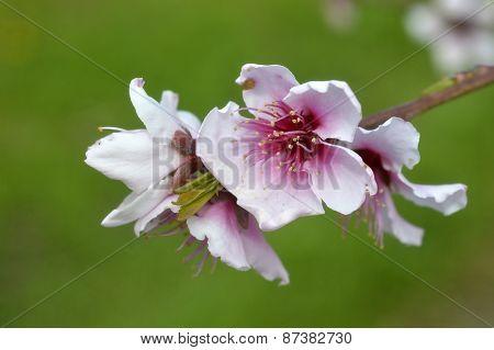 Flowering Peach Tree.