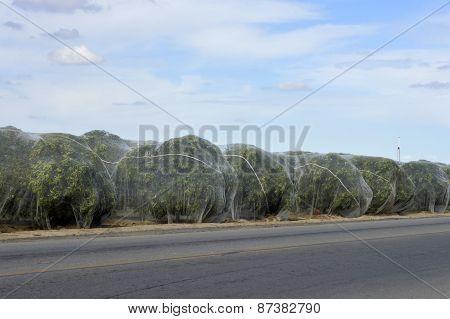Citrus Trees Under The Net