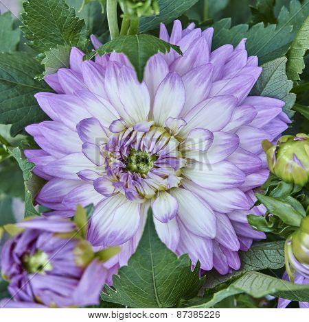 violet Dahlia flower close up