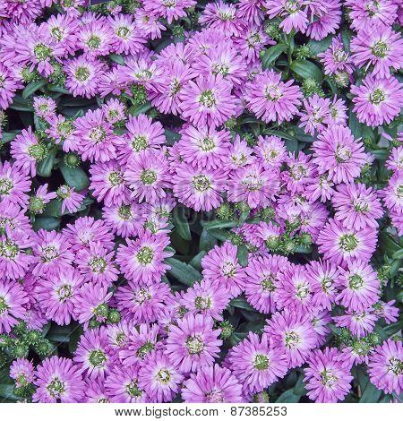 pink Chrysanthemum flowers close up