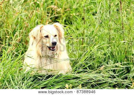 Large, fluffy, white dog in nature. Gorgeous cute puppy.