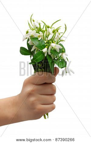 snowdrops bunch holding hand greeting isolated white