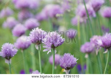 Chives in bloom, many flower buds, Bokeh