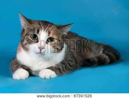 Tricolor Cat With Green Eyes Lying On Blue