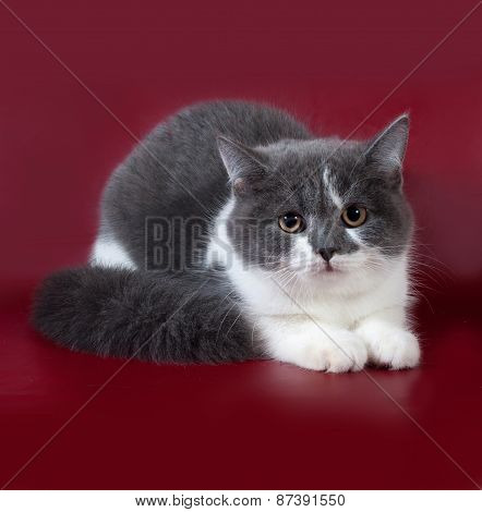 White And Gray Cat Scottish Fold Sitting On Burgundy
