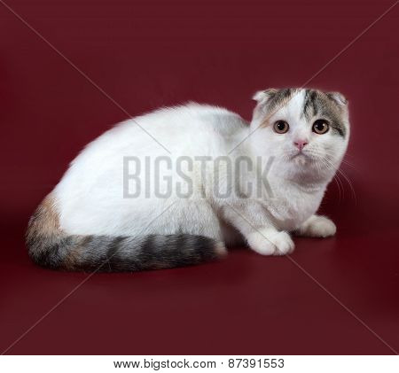 Tricolor Cat Scottish Fold Sitting On Burgundy