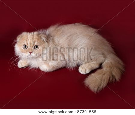 Ginger Tabby Cat Scottish Fold Lies On Burgundy