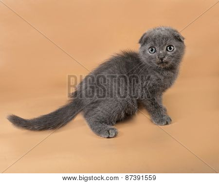 Gray Striped Scottish Fold Kitten Sitting On Yellow