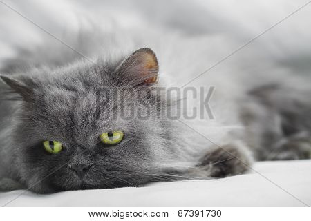 Persian Gray Cat