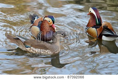 Duck swimming, Male and female mandarin duck