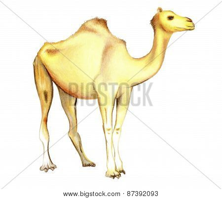 One-humped camel on a white background