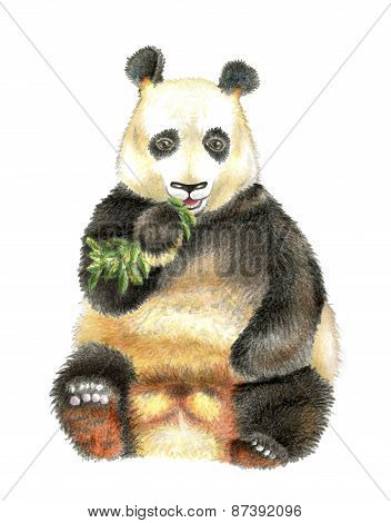 The giant Panda chewing bamboo.