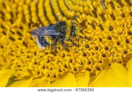 bumblebee covered in pollen on a wild flower