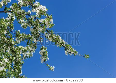 Apple Tree Flowers On Spring Day