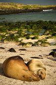 picture of sea lion  - Closeup shot of cute sea lions sleeping in La Loberia beach in San Cristobal - JPG