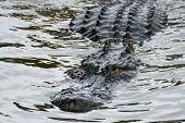 stock photo of alligator  - Alligator stealth in river - JPG