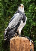stock photo of tame  - Tamed eagle - JPG