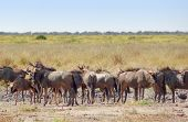 picture of wildebeest  - herd of wildebeests at the Savuti Marsh area in the Chobe National Park in Botswana Africa - JPG