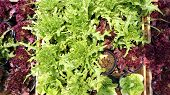 pic of hydroponics  - salad vegetable hydroponics garden with water droplets on leaves - JPG