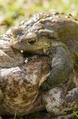 pic of mating  - Mating of toads Bufo on green grass - JPG
