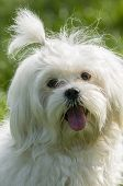 picture of maltese  - maltese dog close up with tongue out and happy face - JPG
