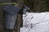 foto of maple syrup  - Buckets hanging on trees collecting sap for maple syrup - JPG