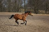 image of running horse  - Running horse on the meadow at spring time - JPG