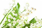 picture of white lily  - White flowers lilies of the valley isolated on white background