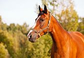 foto of bay horse  - Portrait of bay horse on a background of trees - JPG