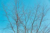 pic of nake  - Naked branches of a tree against blue sky nature spring background - JPG