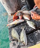 image of catch fish  - Cleaning just catched fish on wooden pier closeup - JPG